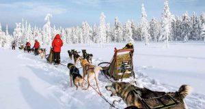 Voyage en chiens de traîneau au cœur de la Suède