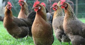 La Ville de Caluire et Cuire vous offre des poules