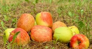 1Kg de Pommes à cueillir offert